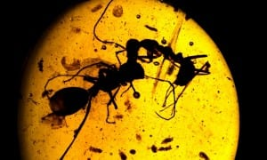 This photo shows two different ant species fighting, caught in 100-million-year old Burmese amber. CREDIT © AMNH/D. Grimaldi and P. Barden