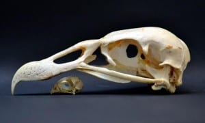The skulls of a collared falconet (Microhierax caerulescens) and an Andean condor (Vultur gryphus), the smallest and largest birds the team studied. CREDIT Dr. Jen Bright. Specimens located at the Smithsonian Institution National Museum of Natural History, Washington DC, USA