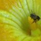 Using genetic markers, researchers have found that the spread of the squash bee in pre-Columbian Central and North America was tied to the spread of squash agriculture. This is the first time researchers have been able to show how cultivating a specific crop led to the expansion of a pollinator species. CREDIT Elsa Youngsteadt
