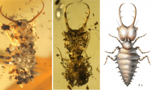 The larvae usually live concealed and camouflaged in ground litter or under stones, lying in wait for prey. Left: Well camouflaged with small stones. Middle: Carbonized plant residue is used as camouflage here. Right: Reconstruction of a yet uncamouflaged owlfly larva (Neuroptera). CREDIT © Photo: Bo Wang, Nanjing