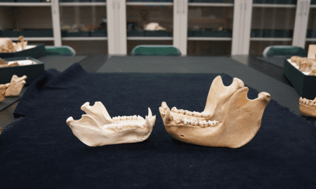 A baboon mandible (lower jawbone) on the left and gorilla on the right, representing the two major primate groups studied: monkey and ape, respectively. CREDIT Leslea Hlusko, UC Berkeley
