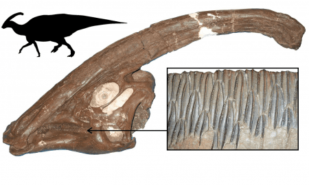 One of the most successful dinosaur plant-eaters, Parasaurolophus from the Late Cretaceous of North America, showing the skull, with long crest, the multiple rows of teeth, and body outline. Hadrosaurs were specialist feeders on confiers and other tough plants, and they were hugely diverse and abundant CREDIT School of Earth Sciences © University of Bristol