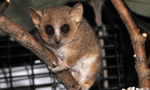 The extinct Gujarat primates appear to be most similar to the gray mouse lemur, Microcebus murinus, pictured here. CREDIT David Haring, Duke Lemur Center