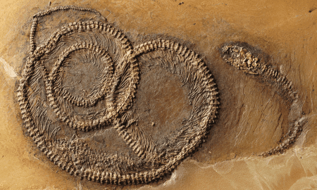 Snake with lizard and beetle: The rare tripartite fossil food chain from the Messel Pit. © Springer Heidelberg