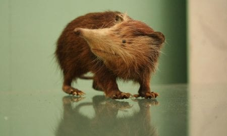 The Solenodon taxa is the closest living relative to the extinct Nesophontes. CREDIT Natural History Museum, London UK