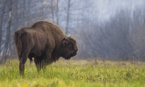 Modern European bison (or wisent -- Bison bonasus) from the Biaowie, a Forest in Poland CREDIT Picture from Rafa? Kowalczyk