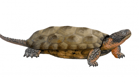 Reconstruction of the newly discovered toothed turtle Sichuanchelys palatodentata from the Middle Jurassic site of Wucaiwan, Xinjiang, China. Artist's impression: Lida Xing