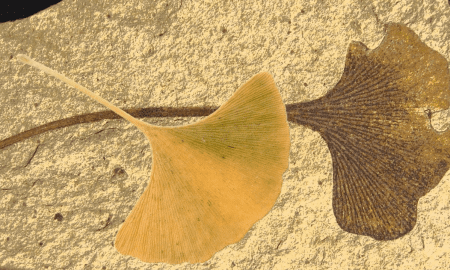 The ginkgo tree's emblematic fan-shaped leaf preserved as a 49 million year old fossil with modern autumn leaf overlay. CREDIT Image Attribution: Fossil is from Klondike Mountain Formation, Republic, Ferry County, Washington, USA, Eocene, Ypresian. Stonerose Interpretive Center Collection