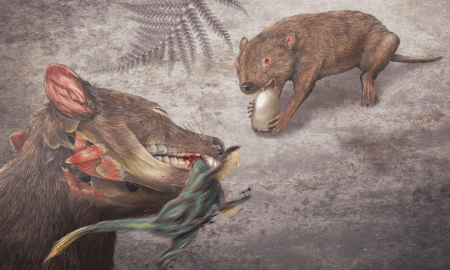 A rendering of the early marsupial relative, Didelphodon vorax. This opossum-sized mammal had pound-for-pound, the strongest bite force of any mammal ever recorded and could eat a wide variety of foods, including snails and small dinosaurs. CREDIT Misaki Ouchida