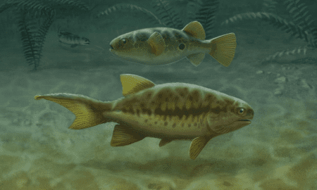 Aetheretmon (facing right), an early ray-finned fish, swims in a 348-million-year-old river in Foulden, Scotland. Aetheretmon exhibits the ancestral state of two distinct 'tails', fleshy tail above and caudal fin below. The 32,000 species of living teleost fishes (the pufferfish, center facing left) have lost the upper tail, while early tetrapods (upper left) lost the lower caudal fin. Thus, living fish and tetrapod tails are entirely distinct structures. CREDIT John Megahan