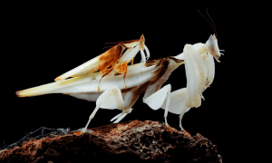 A mating pair of the orchid mantis, Hymenopus coronatus, shows extreme size difference between the male and female. CREDIT Jason Zhu