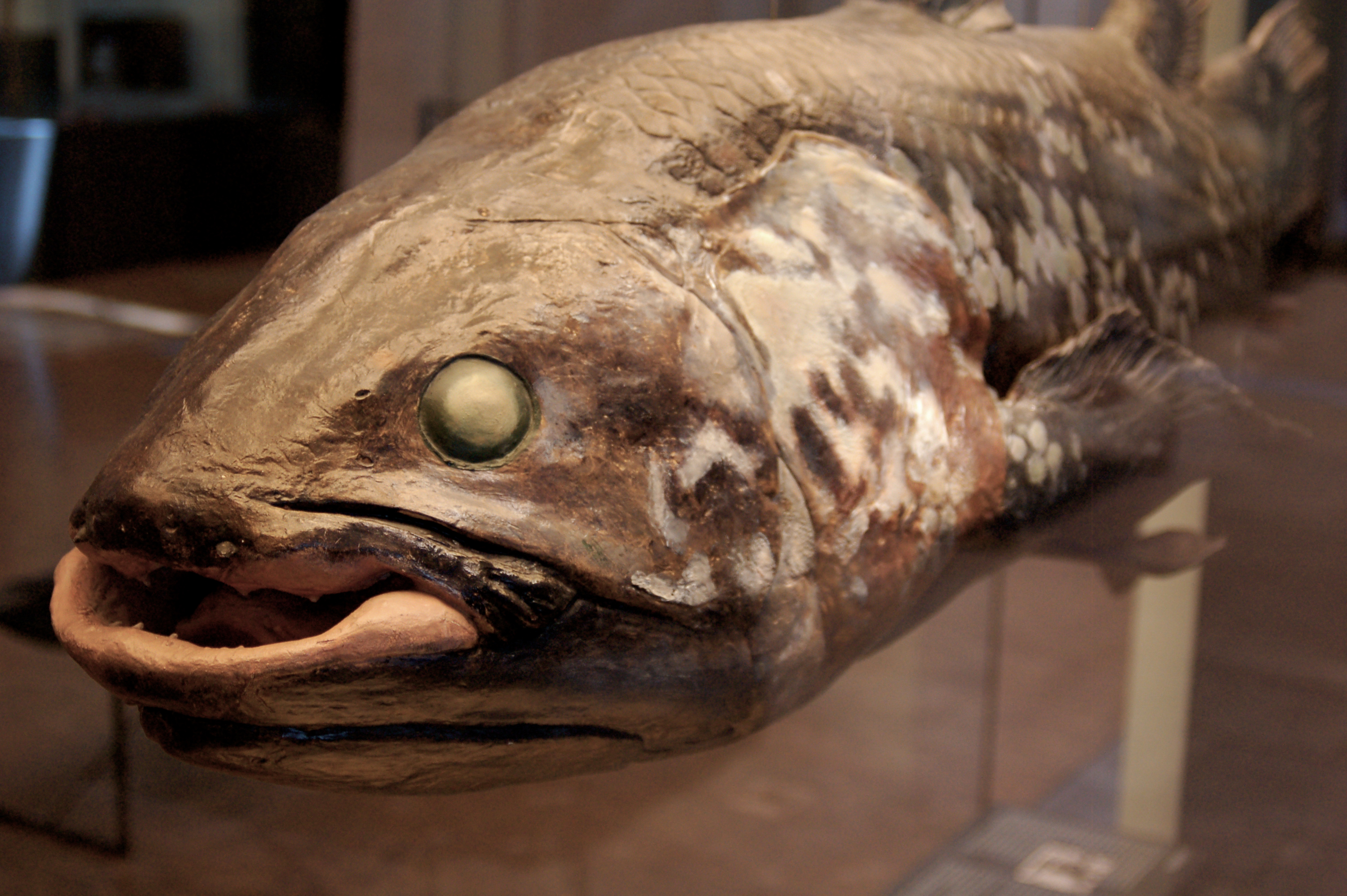 Coelacanth Wiki Commons HeritageDaily Heritage Archaeology News - Wikicommons