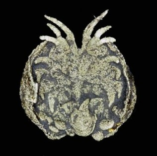 This is the ostracod Luprisca incuba, showing limbs and eggs, from 450 million-year old-rocks of New York State, USA. Credit: Siveter, David J., Tanaka, G., Farrell, C. Ú., Martin, M.J., Siveter, Derek J & Briggs, D.E.G.