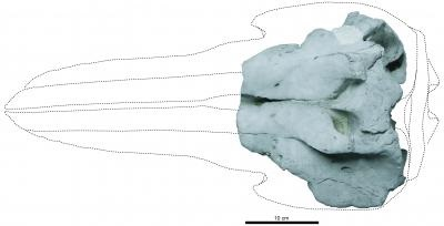 This is the skull of the holotype of Eodelphis in dorsal view. Credit: Image courtesy Mizuki Murakami