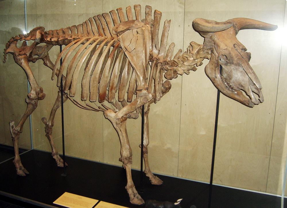 Aurochs Bull: WikiPedia
