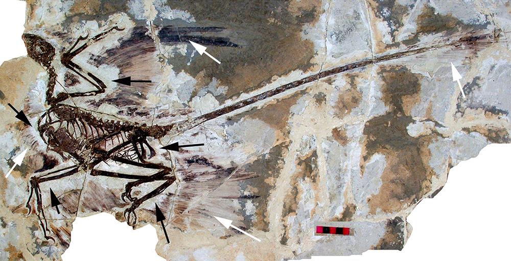 An example of a microraptor: WikiPedia