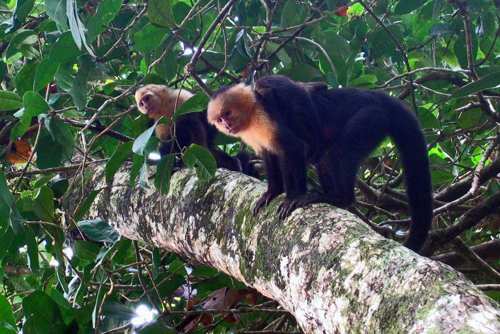 Capuchin Monkey: Flickr