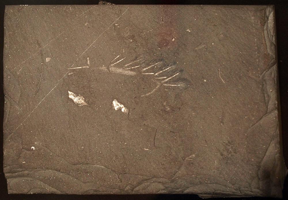 Hallucigenia Fossil: WikiPedia