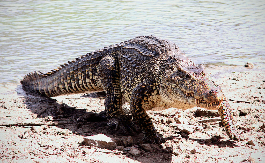 Cuban crocodile: WikiPedia