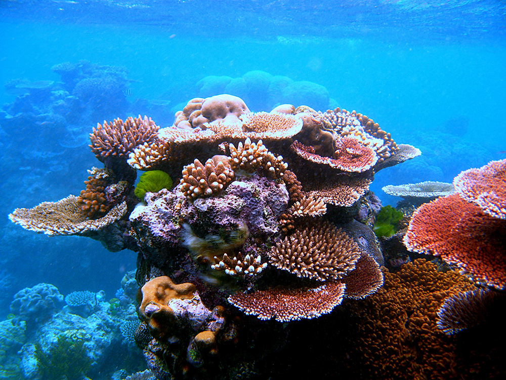 Great Barrier Reef Coral: WikiPedia