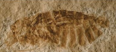 This is a fossilized aquatic bug from the Orbagnoux outcrop of the Rhone valey: Gallomesovelia grioti (scale bar 1 mm).