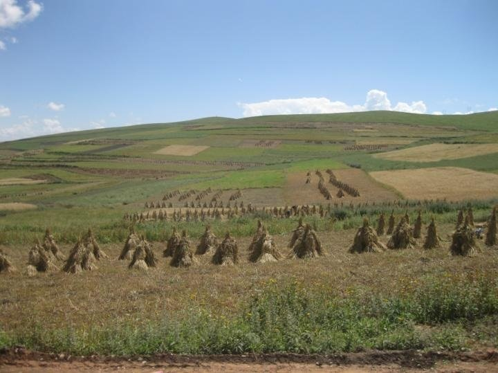 This shows the modern-day barley harvest in Qinghai, farmed at a height of 3,000 meters above sea level.