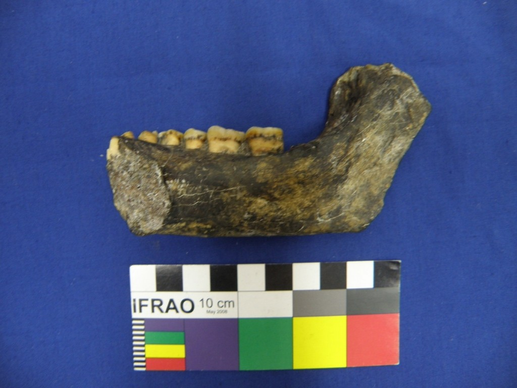 The mandible of Olduvai Hominid 22 (OH 22) illustrates the archaic nature of the negative chin. Professor Colin Groves