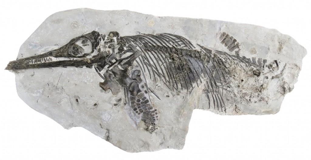 Full image of Doncaster ichthyosaur (Ichthyosaurus anningae)