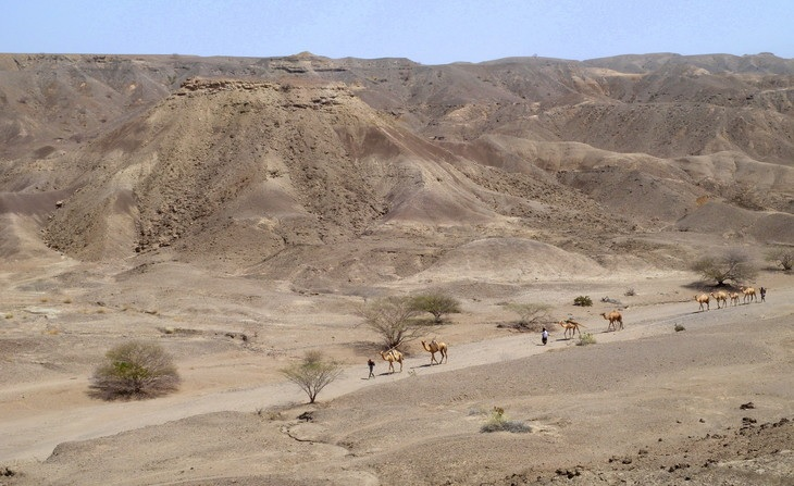 A caravan moves across the Lee Adoyta region in the Ledi-Geraru project area near the early Homo site. The hills behind the camels expose sediments that are younger than 2.67 million year old, providing a minimum age for the LD 350-1 mandible. Image: Erin DiMaggio/Penn State