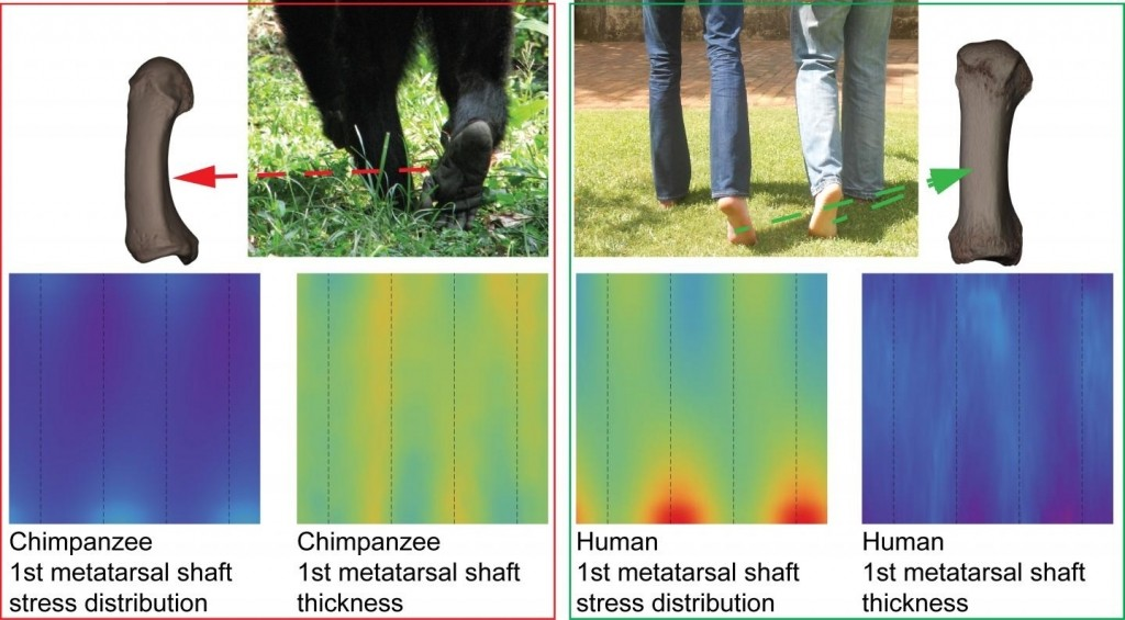 Consensus maps of chimps and humans show difference in the patterns between two functional groups for hallucal metatarsal shafts. Credit : Wits University