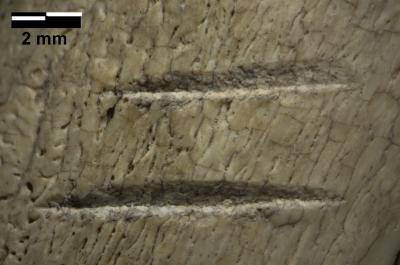 "This is a detail of the marks on a fossilized rib bone, one of the two controversial bones. ""The best match we have for the marks, using currently available data, would still be butchery with stone tools,"" says Emory University anthropologist Jessica Thompson. Credit : Photo by Zeresenay Alemseged."