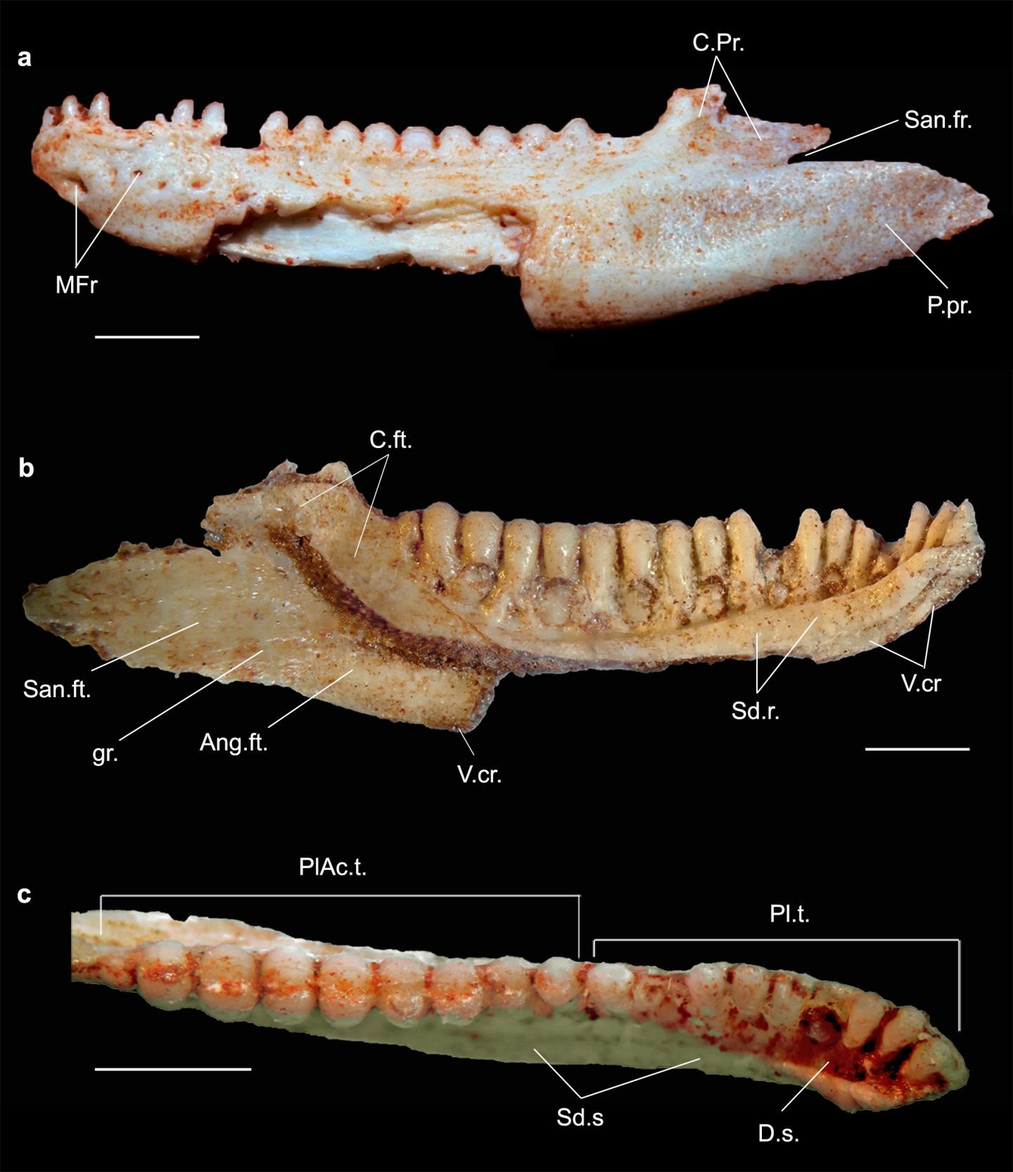 This is a Gueragama holotype by Tiago Simoes and Adriano Kury. Credit : Tiago Simoes and Adriano Kury