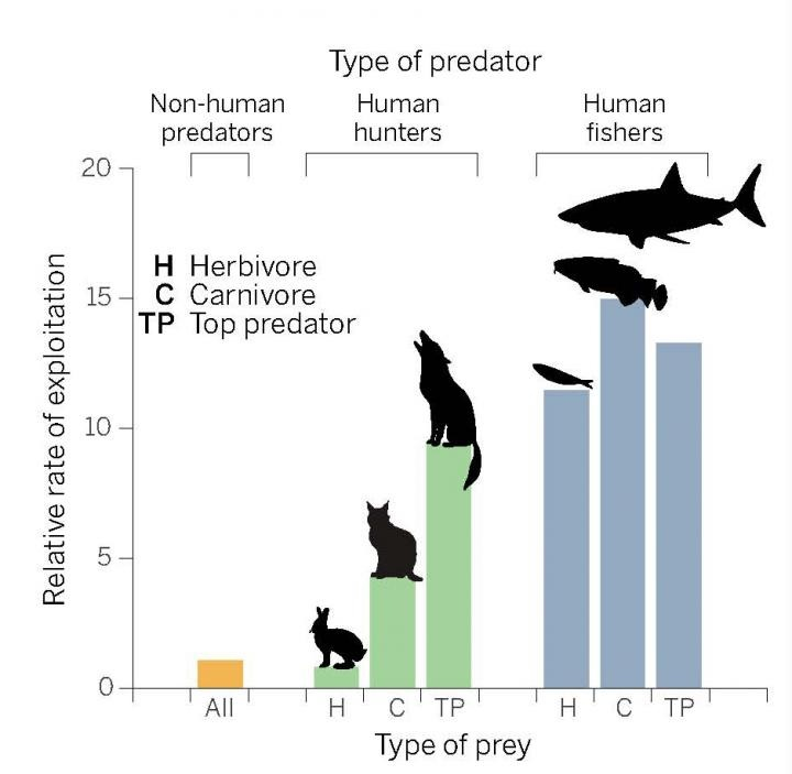 "Wildlife under pressure is shown. Darimont et al. show that the rates at which humans exploit land mammals and marine fish vastly exceeds the impacts of other predators (1). Marine fish experience ""fishing through marine food webs,"" with different trophic groups similarly affected. In contrast, on land top predators are exploited at much higher rates than are herbivores. Credit: P. Huey/Science"