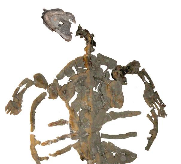 The skeleton of Desmatochelys padillai sp. is almost completely preserved. © PaleoBios/Cadena