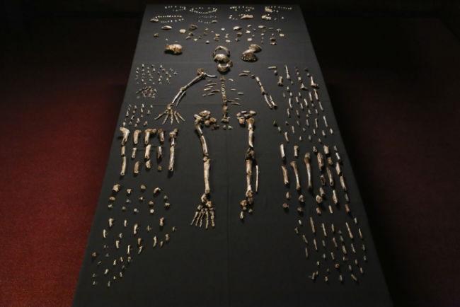 Homo naledi. cc John Hawks_Wits University