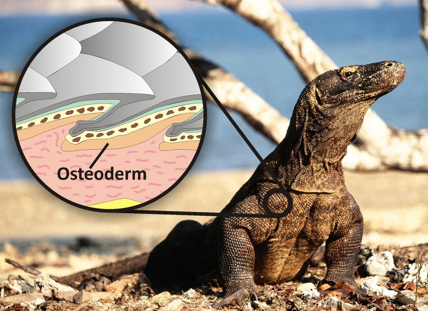 The living Komodo dragon and illustration showing how the osteoderm bone reinforces the scales and acts like body armor. CREDIT Photo of the Komodo dragon by Bryan Fry, inset by Gilbert Price