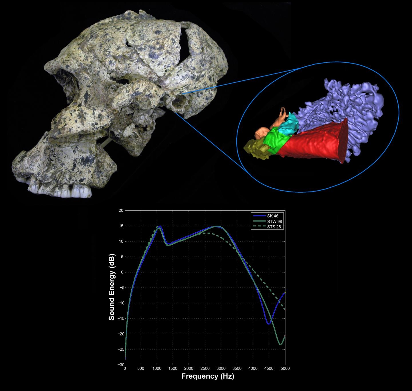 This is a lateral view of the Paranthropus robustus skull SK 46 from the site of Swartkrans, South Africa showing the 3-D virtual reconstruction of the ear and the hearing results for the early hominins. CREDIT : Rolf Quam