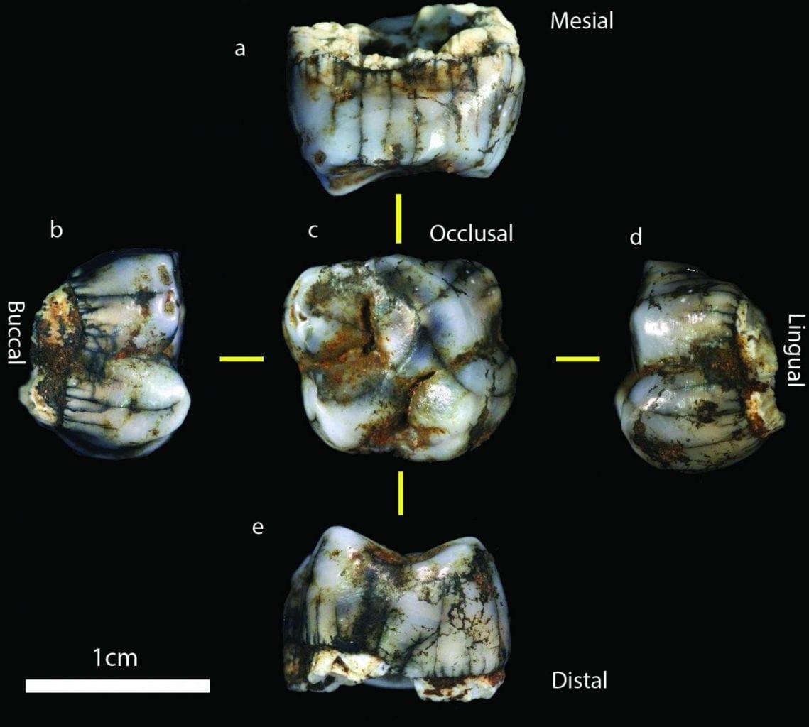 New homonin molar was found in Sterkfontein Caves. CREDIT : Jason Heaton