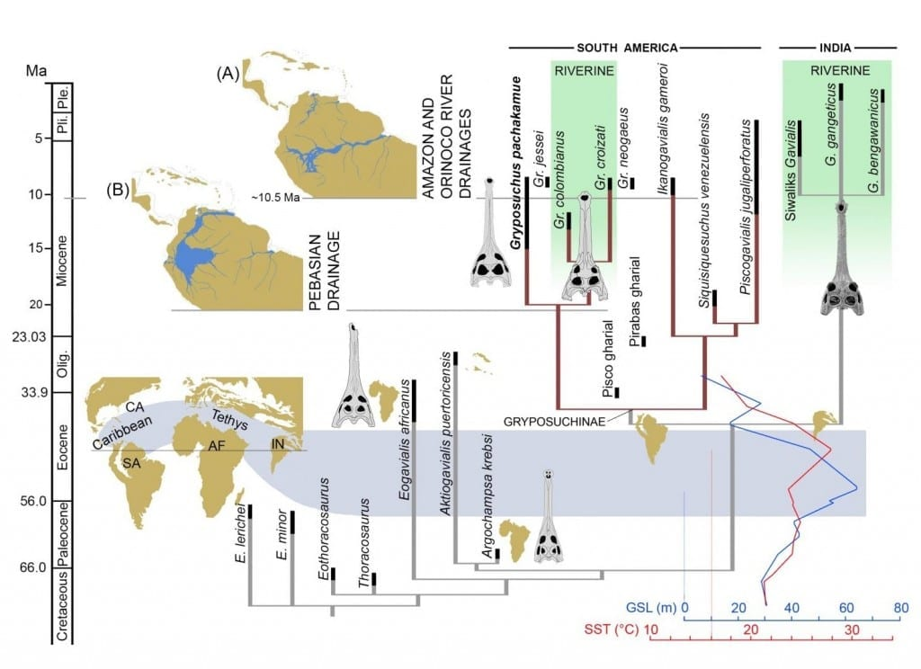 Time calibrated phylogenetic tree of the Gavialoidea and relevant paleogeographic distributions associated with the evolution and diversification of gavialoids in marine and freshwater settings. During the Late Paleocene-Early Eocene interval, peaks of sea surface temperature (SST) and global sea surface level (GSL) occurred together with tropical marine connections through the Tethys Ocean and Caribbean Sea [59,60]. During the Neogene, distinct biomes dominated tropical South America: (A) Acre Phase, after the onset of the eastern-draining Amazon and northward-draining Orinoco river systems; and (B) Pebas Mega-Wetland System, with its drainage northward to the Caribbean Sea. Abbreviations: Olig., Oligocene; Ple., Pleistocene; Pli., Pliocene. Global and South American schematic paleogeography adapted from Blakey [60] and Hoorn et al. [61], respectively. CREDIT Salas-Gismondi et al.
