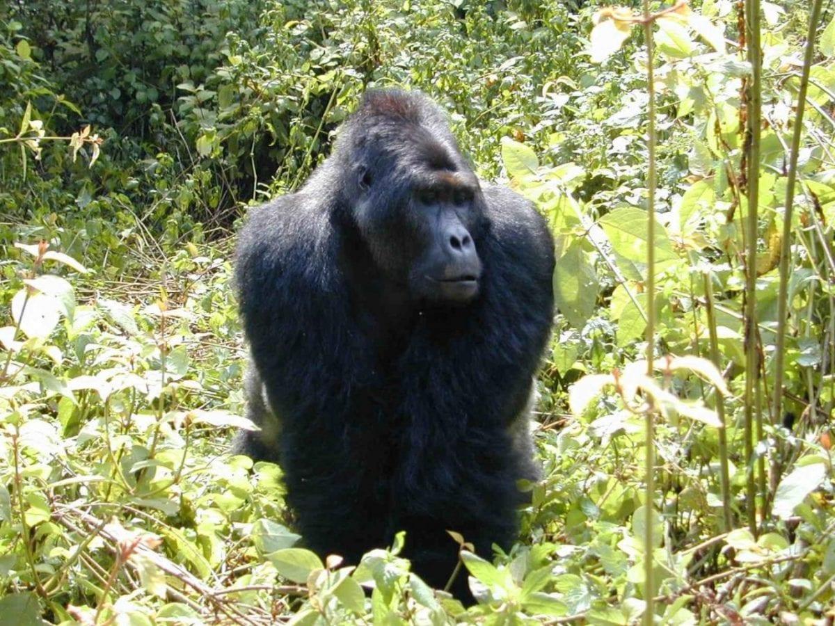 african wars endanger world's largest gorilla subspecies