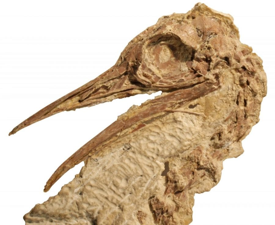 This is a Lithornithid skull from the Calciavis grandei fossil, found in Green River Formation of Wyoming. CREDIT Sterling Nesbitt/Virginia Tech