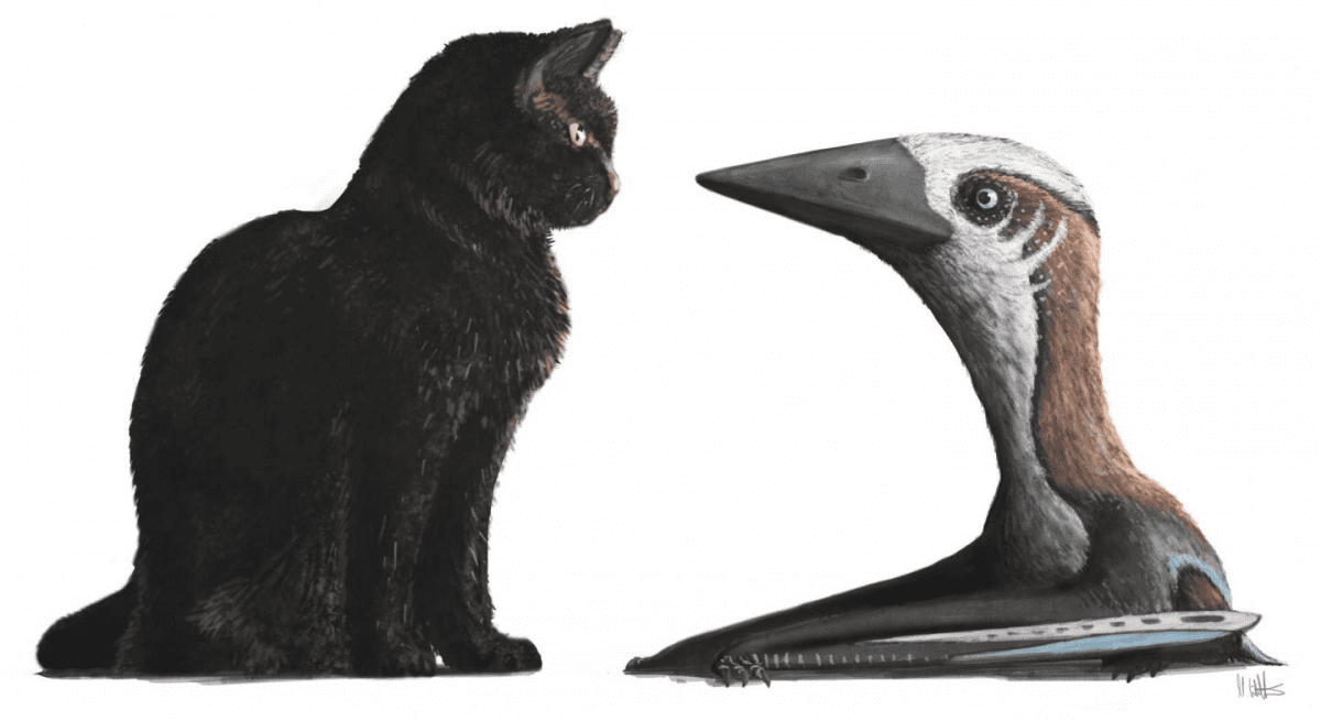 A restoration of a small-bodied pterosaur, representing the atypically diminutive Late Cretaceous azhdarchoid specimen, against a modern housecat (around 30cm tall at shoulder). All other Campanian and Maastrichtian azhdarchids are famous for being much larger, the biggest being as tall as giraffes and, even at their smallest, comparable in size to the largest extant flying birds. CREDIT Dr Mark Witton.