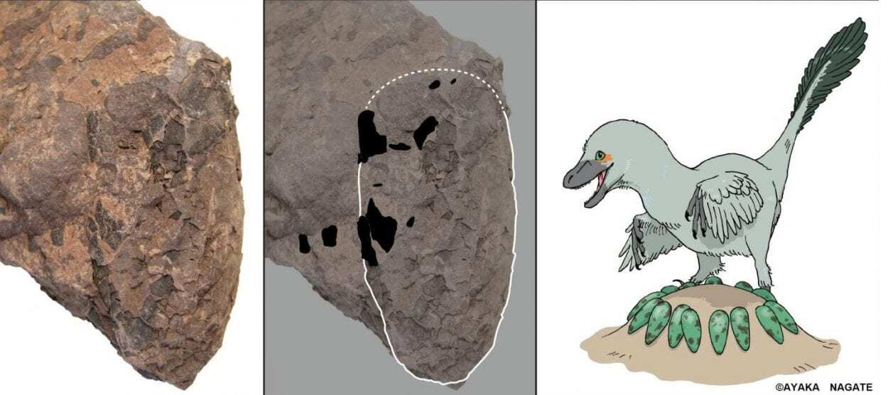 Research reveals a nest of exceptionally small non-avian theropod egg fossils - HeritageDaily