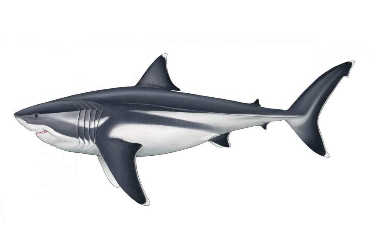 True Size Of Prehistoric Mega Shark Finally Revealed Heritagedaily Archaeology News
